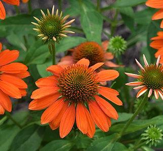 Echinacea Skipper Orange
