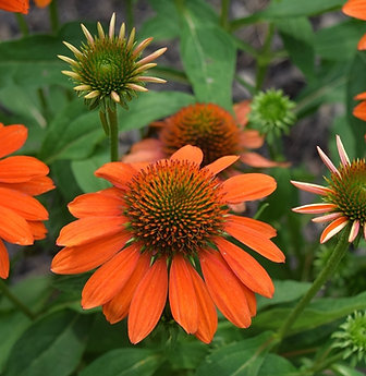 Echinacea Skipper Orange