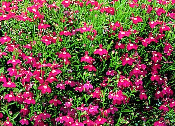 Trailing Plant Lobelia Red