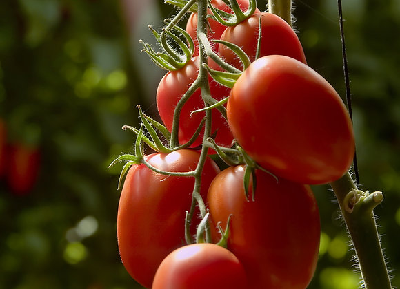 Plum Tomato San Marzano