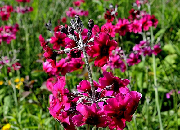 Primula Candelabra Japonica Millers Crimson