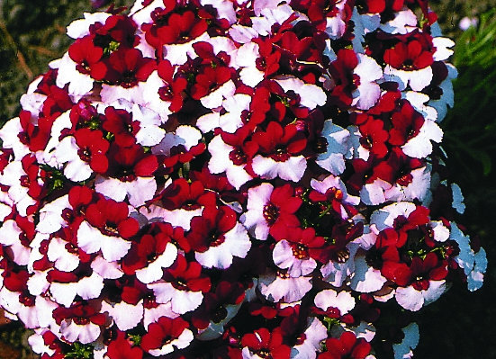 Bedding Plant Nemesia Red and White