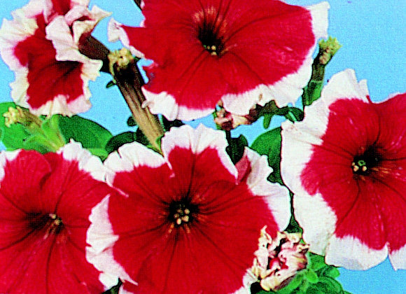 Bedding Plant Petunia Red and White