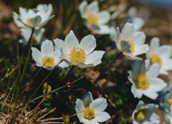 Pulsatilla (Pasque Flower) Vulgaris `Alba`