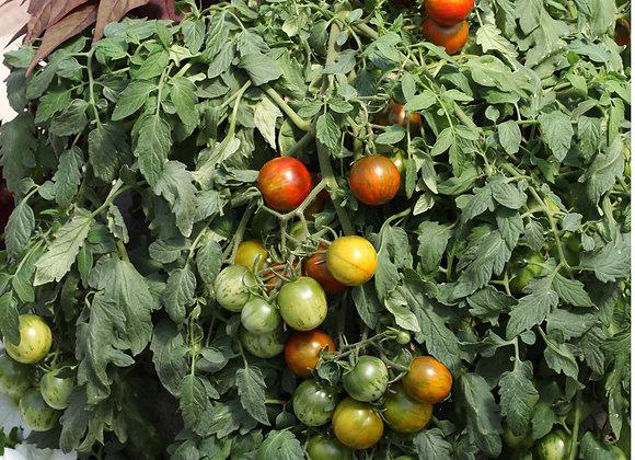 Tumbling Jester Tomato
