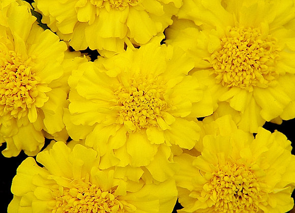 Marigold Zennith Yellow
