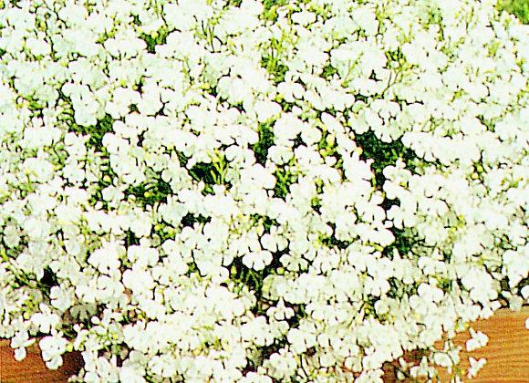 Trailing Plant White Lobelia