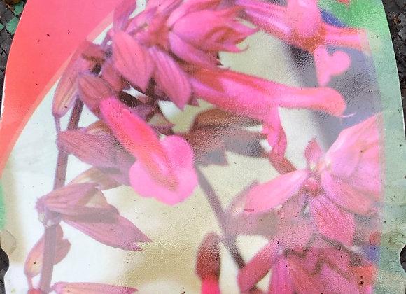 Salvia Wendys Wish