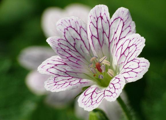 Geranium (Perennial) Versicolor