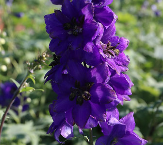 Delphiniums Black Knight