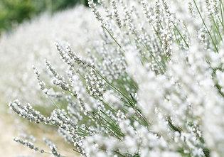 Lavender Nana Alba