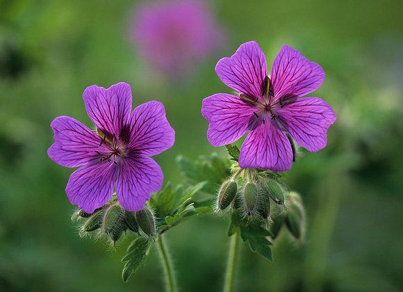 Geranium (Perennial) Magnificum `Rosemoor`