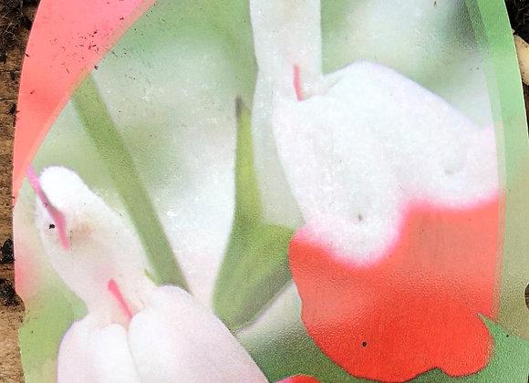 Salvia Hot Lips