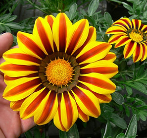 Gazania Big Kiss Yellow