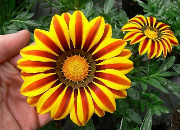 Bedding Plant Gazania Yellow