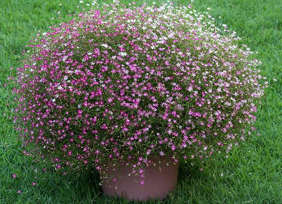 Gypsophila Rosea Pink