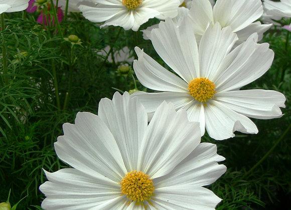 Bedding Plant Cosmos Sonata White