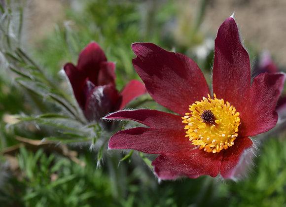 Pulsatilla (Pasque Flower) Vulgaris `Rubra`
