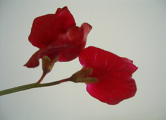 Red Winston Churchill Sweet Pea