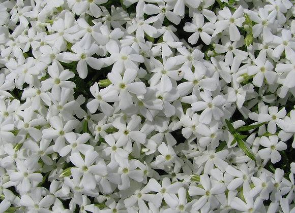 Phlox Subulata Mixed