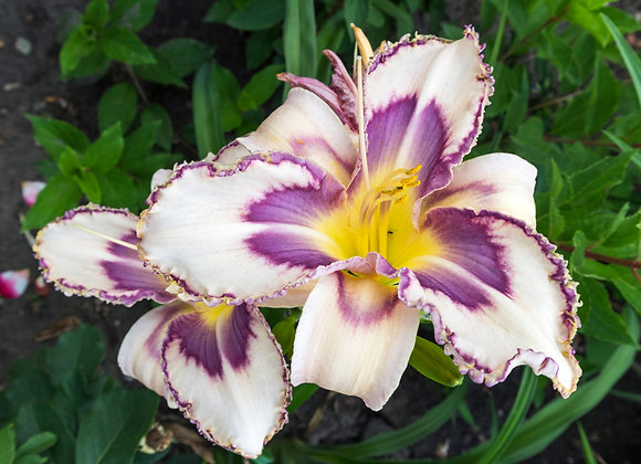 Hemerocallis (Day Lily) Destined To See