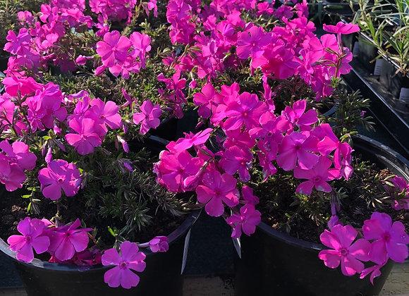 Phlox Subulata Pink