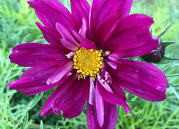 Bedding Plant Comsos Double Click Cranberry