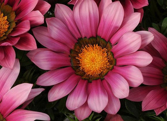 Bedding Plant Gazania Pink