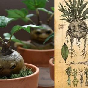 Mandrágora, una planta misteriosa y sin dudas llamativa