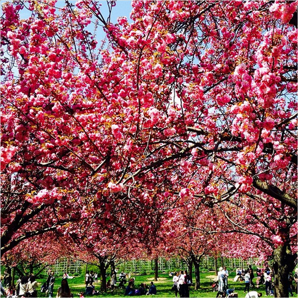 Cherry Blossom Festival - Brooklyn