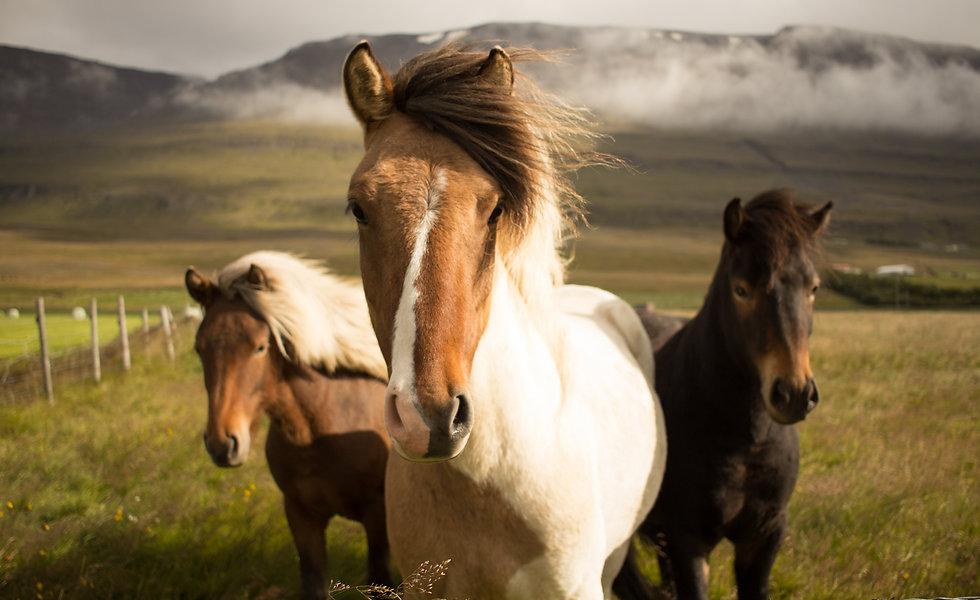 Wild Icelandic Horses_edited.jpg
