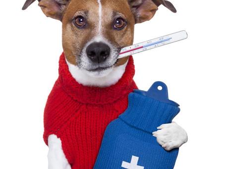 Gripe Canina, conheça mais sobre esta doença.