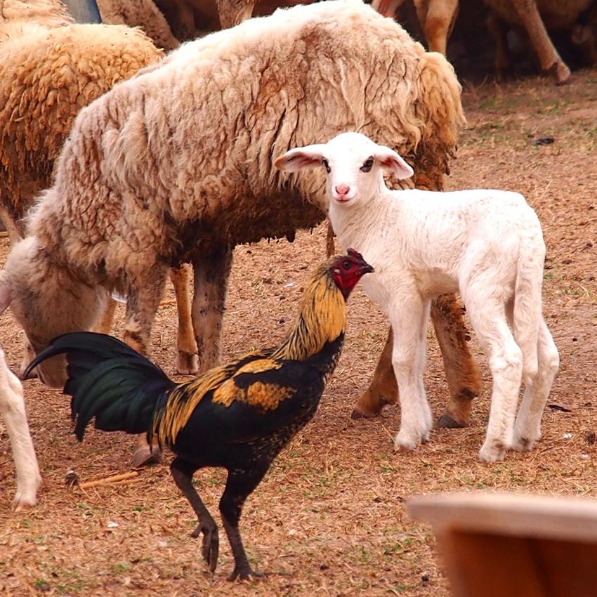 Farm yard buddies