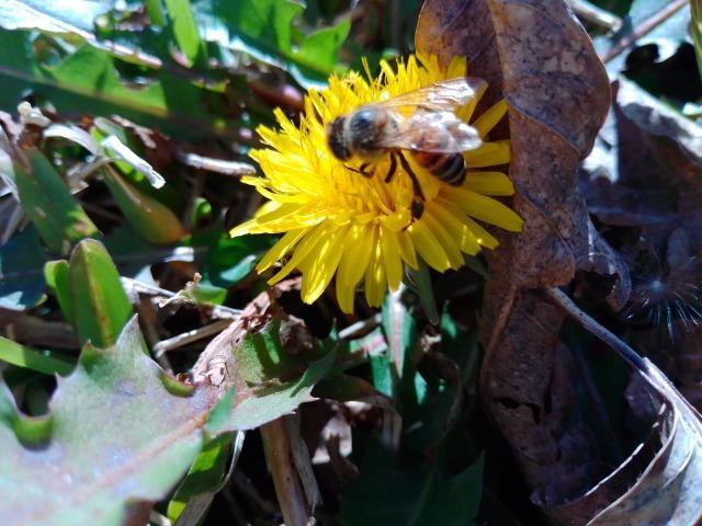 2020_02_28 Bee on yellow Flwer_02