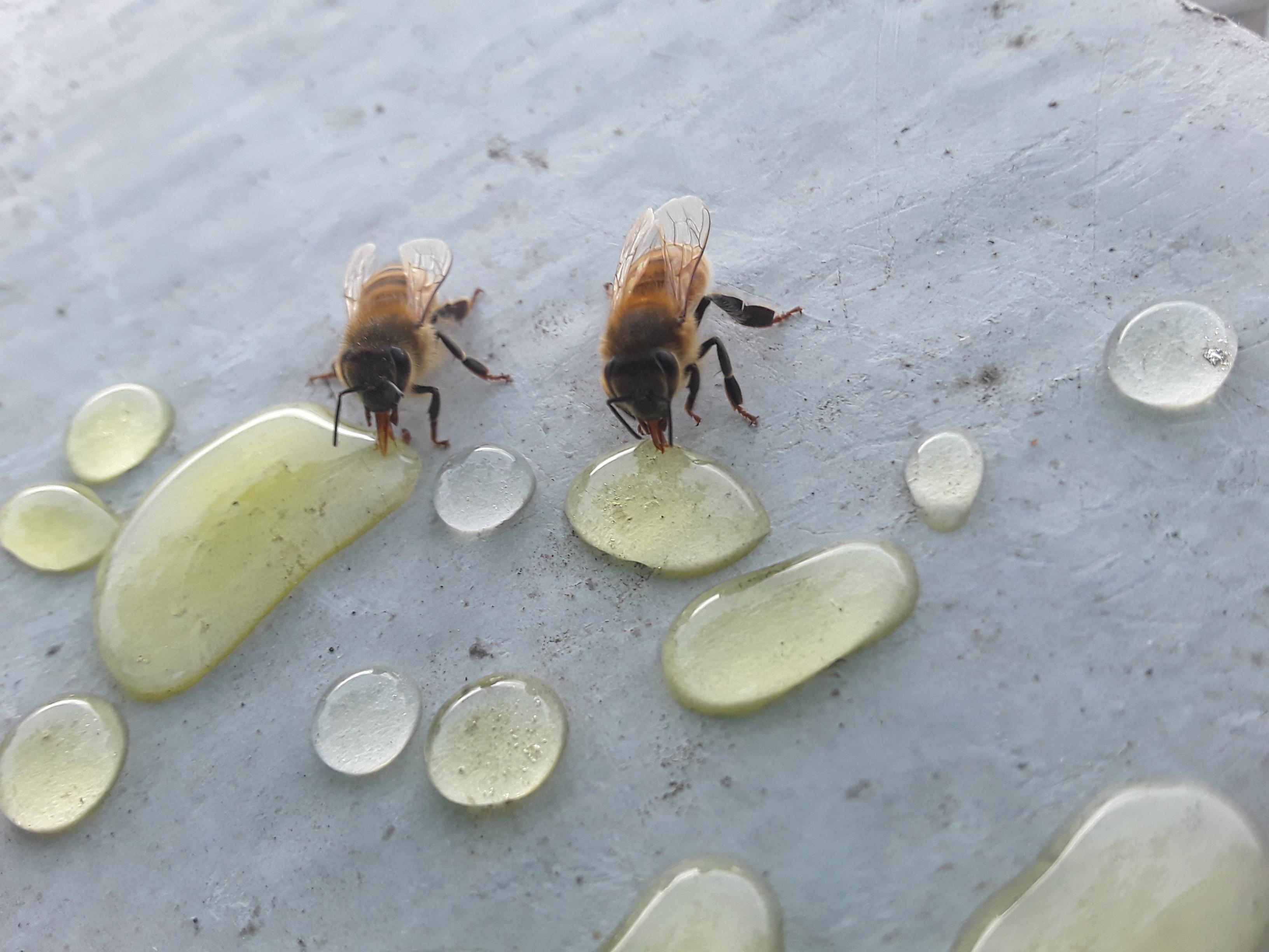 2019_06_12 bees eating honey_02
