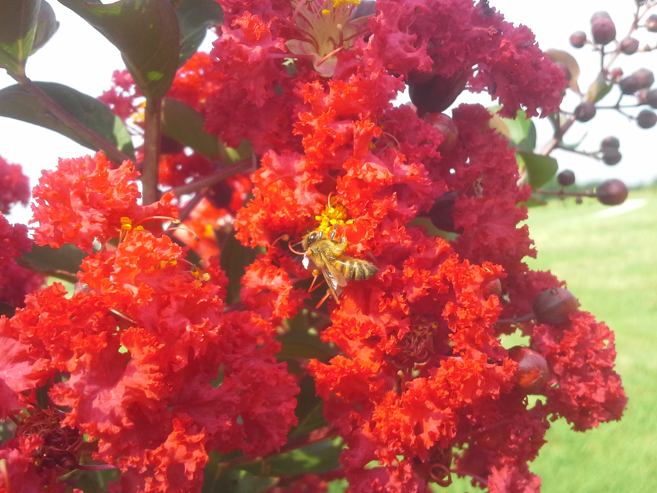 bee on crape myrtle