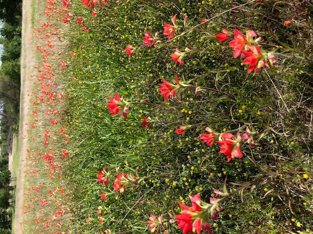 2019_04_10 Wildflower Indian Blanket BES