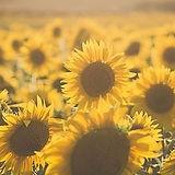 Sunflower banner sm.jpg