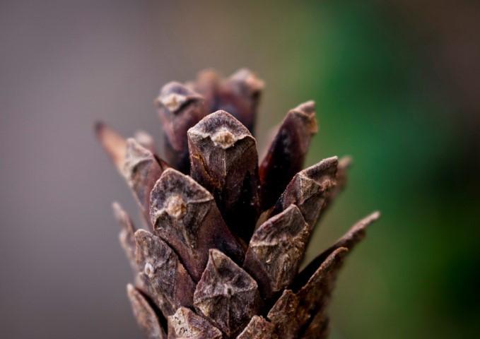 Pine Cone (Small).jpg