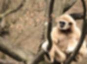 gibbon-1924080_1920.jpg