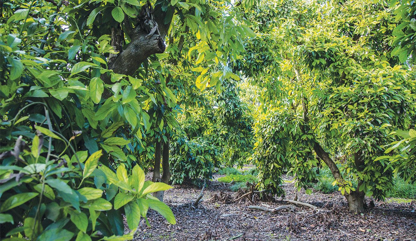 avocado 1.jpg