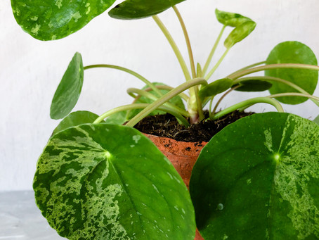 Plant of the Week - Pilea peperomioides 'Mojito'