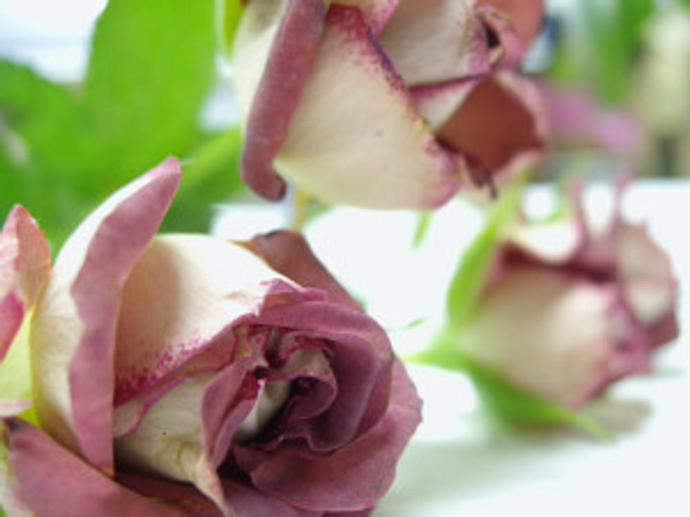 Rose 'Tiramisu'