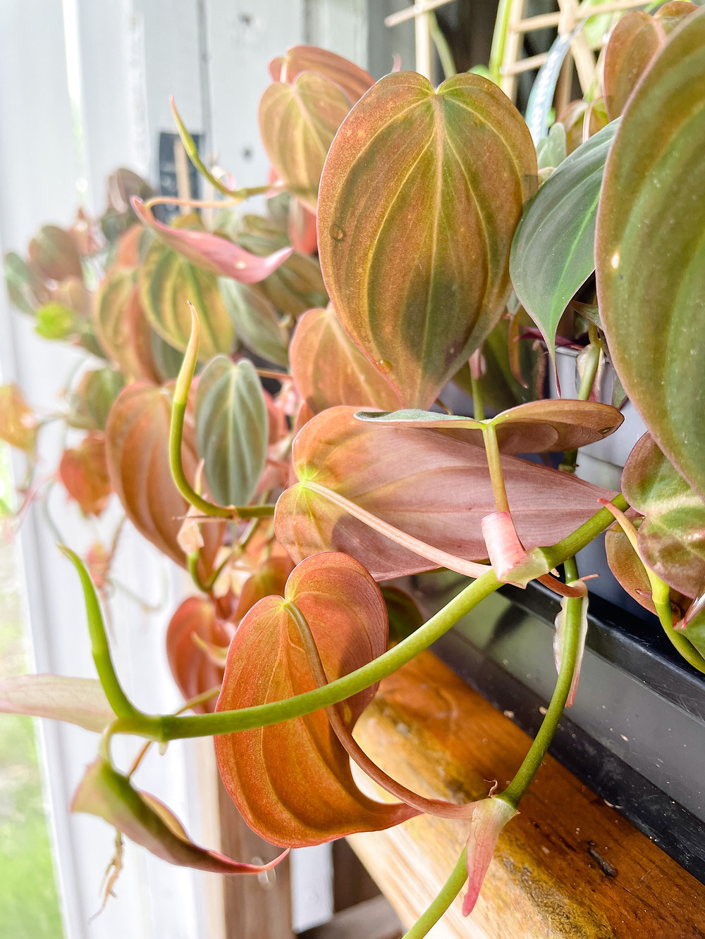 Philodendrons scandens micans near a window