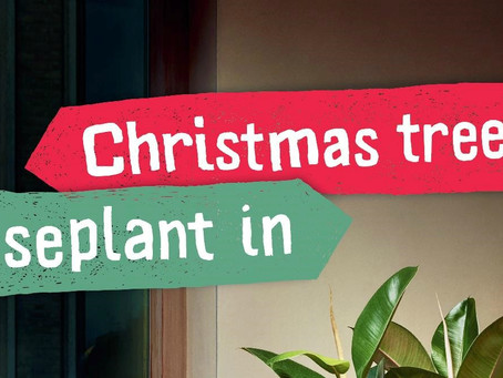 Christmas Tree Out – Houseplant In!