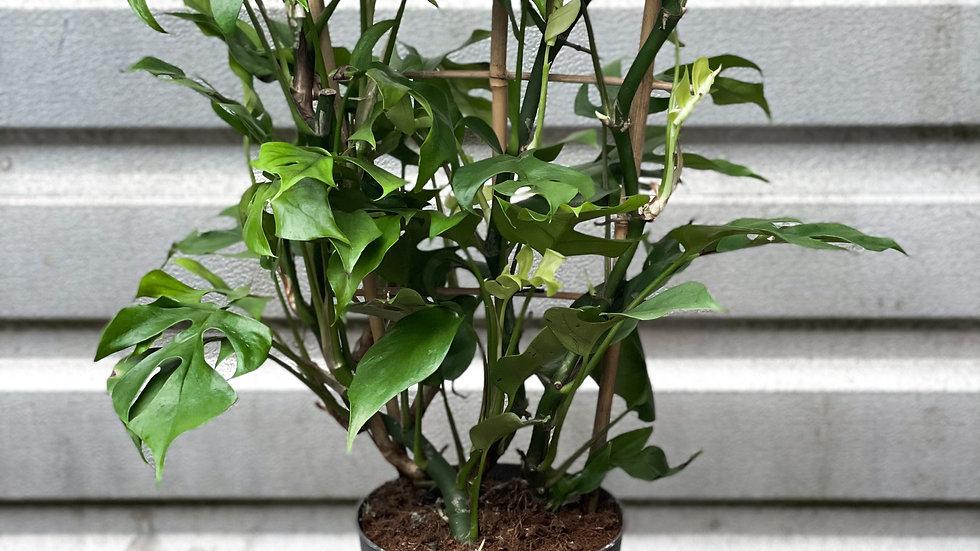 Rhiannon - Rhaphidophora  tetrasperma