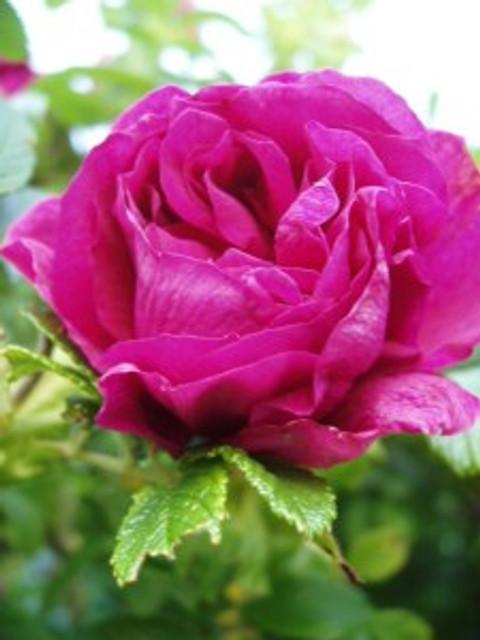 Rose rugosa 'Roseraie De L'Hay'