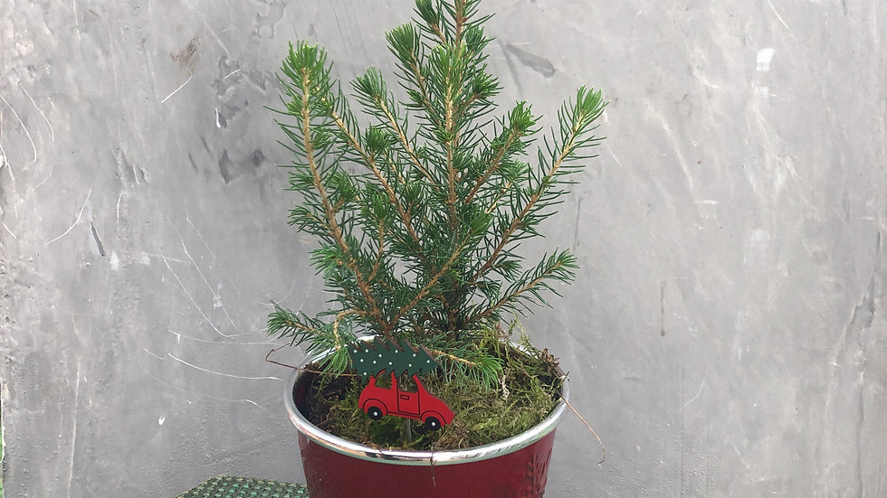 Potted Picea