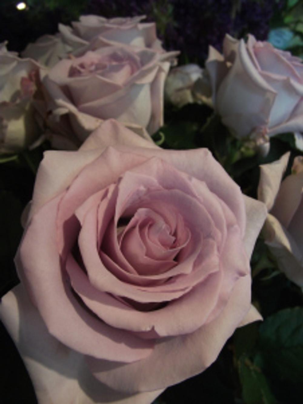 Rose 'Pacific Blue'