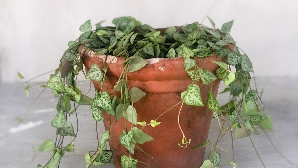 Catrina - Ceropegia woodii 'Green Love'
